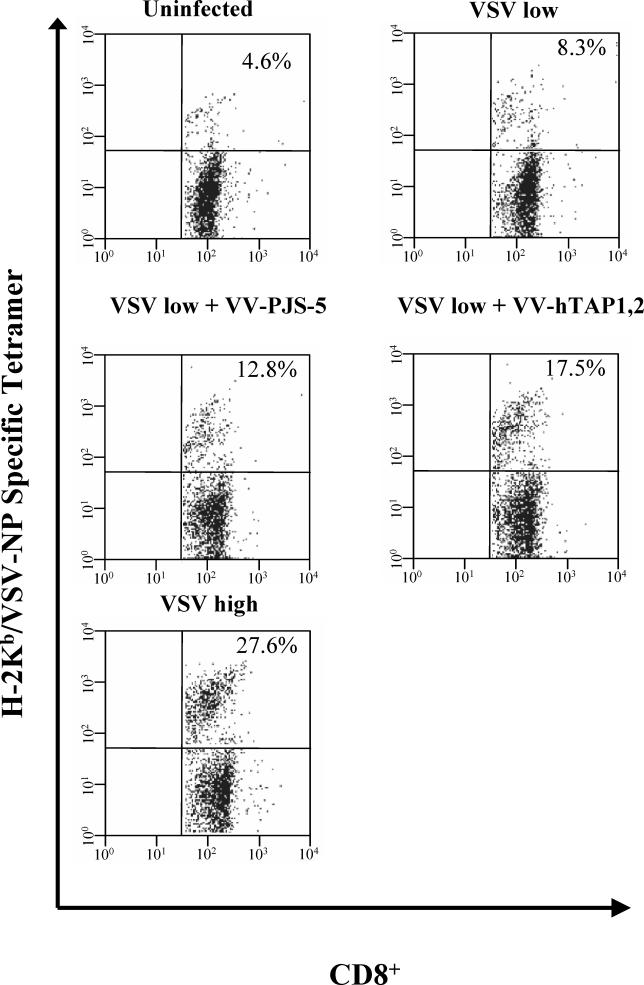 Antigen-Specific Tetramer Staining Was Used to Determine T-Cell Responses in Coinfections with VV-hTAP1,2 and VSV The percentage of CD8 + splenocytes specific for H-2K b –VSV-NP 52–59 was determined by flow cytometry using double labeling with an anti-CD8 + antibody and a VSV-NP–specific tetramer. The value in the upper-right quadrant of the scatter-plots represents the percentage of CD8 + cells specific for H-2K b –VSV-NP 52–59 for mice infected with a low dose of VSV and VV-hTAP1,2. The mice coinfected with both VSV and VV-PJS-5 or with a low dose of VSV, or uninfected mice, were used as negative controls for VV-hTAP1,2. The mice infected with a high dose of VSV alone were used as a positive control.