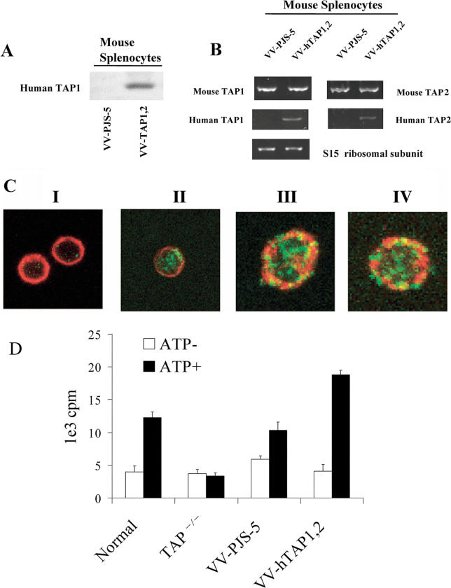 Human TAP Expression and Activity Was Determined in Splenocytes 24 h after the Mice Were Infected with VV-hTAP1,2 (A) Human TAP1 protein expression in mouse splenocytes was determined by Western blot. The mice infected with VV-PJS-5 were used as negative controls for human TAP1 expression. (B) The expression of human TAP1 and human TAP2 was detected by RT-PCR 24 h after the mice were infected with VV-hTAP1,2. The mice infected with VV-PJS-5 were negative for human TAP1 and TAP2. (C) Immunofluorescence visualized with confocal microscopy identified human TAP1 expression in antigen-presenting splenocytes isolated from mice 24 h after infection with VV-hTAP1,2. The mice infected with VV-PJS-5 were used as negative controls for human TAP1 expression (green fluorescence) (I). Cell-surface markers (red fluorescence) identified cell types. Representative images show the following cell types: (I) B cell from a mouse infected with VV-PJS-5 (negative control); (II) B cell that is positive for human TAP1; (III) macrophage that is positive for human TAP1; and (IV) DC that is positive for human TAP1. (D) ATP-dependent TAP activity was measured in splenocytes taken 24 h after the mice were infected with VV-hTAP1,2 or VV-PJS-5 (negative control). Active transport activity was measured in the presence or absence of ATP by a peptide-transport assay that determined the translocation of radioactive peptides from the cytosol into the ER. Normal uninfected mice, uninfected TAP −/− mice, and mice infected with VV-PJS-5 were used as negative controls when assessing the effect of VV-hTAP1,2 infections on peptide-transport activity. The bars represent the mean value ± standard error of the mean of triplicate measurements. The data are representative of the experiment performed in duplicate.