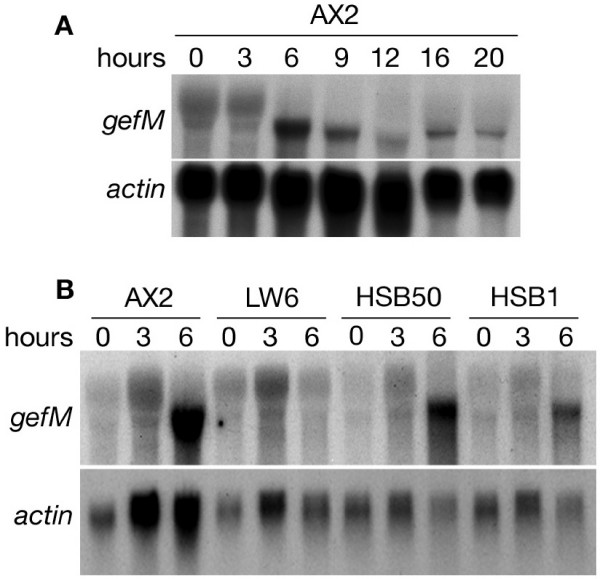 Northern blot analysis of rasGEFM expression in parental and mutant strains . ( A ) Total <t>RNA</t> was extracted from AX2 cells developed in suspension for 0 to 9 hours or on filters. In the latter case the cells were harvested at mound (12 hours), first finger (16 hours) and preculminant (20 hours) stages. The membrane was hybridized to a radiolabelled rasGEFM specific probe (probe a ) corresponding to bp 760–1518 of the <t>cDNA</t> clone and to the actin gene used as a loading control. ( B ) Total RNA was extracted from different developmental Dictyostelium mutants starved in shaking suspension up to 6 hours. LW6 (G protein β subunit minus), HSB1 (PIA ts -mutant, defective in the G-protein adenylyl cyclase activation) and HSB50 (mutant blocked at mound stage).