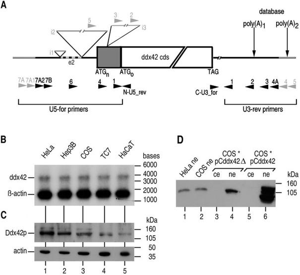 Characterization of ddx42 mRNA and protein. ( A ) Schematic representation of the structure of the ddx42 mRNA. The ddx42 cds is represented as a bar starting with ATG and ending with TAG. ATG n denotes the true translation initiation codon of Ddx42p (this study), while ATG o is the previously reported one, and the shaded bar area shows the 5′ ward extended cds. Thin lines left and right of the ddx42 cds symbolize the 5′- and 3′-UTRs, respectively, and gray parts are genomic sequences not found in ddx42 poly(A) + RNA (i1, i2, i3 are introns 1, 2 and 3). Exon 2 (e2) is absent in the shorter ddx42 poly(A) + RNA. PCR primers used for analysis are indicated as arrows, and those not leading to a PCR product are highlighted in gray. ( B ) ddx42 mRNA is present in similar low levels in different cell lines. A northern blot of poly(A) + RNA (100 ng each) was probed with a ddx42-specific antisense RNA probe. β-Actin RNA served as a loading control. The size of RNA marker bands (Fermentas RNA ladder, high range) is indicated on the right. ( C ) The protein Ddx42p is expressed differentially in different cell lines. Ddx42p was detected by western blotting in whole cell extracts (15 µg total protein each) with antiserum α-D42N. Actin was detected as a loading control. The molecular weight of marker bands (RPN800, Amersham Biosciences) is indicated on the right. ( D ) Ddx42p is found exclusively in nuclear extracts. The western blot was performed as above using nuclear extracts (ne) from HeLa and COS cells (lanes 1 and 2). Soluble cellular extracts (ce; lanes 3 and 5) and ne (lanes 4 and 6) from COS cells transfected with full-length ddx42 cDNA (pCddx42; lanes 5 and 6) or a C-terminally shortened form (pCddx42Δ; lanes 3 and 4), respectively, show that even overexpressed protein resides in the nuclei. The overexpressed full-length form is probably subject to proteolytic degradation.