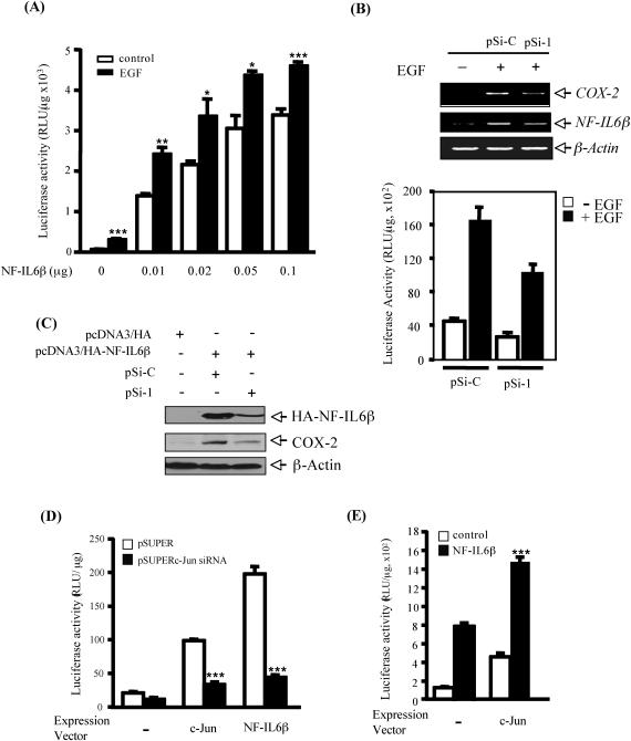 <t>NF-IL6β</t> plays a role in transcription of cox-2 gene. ( A ) Overexpression of NF-IL6β enhances the cox-2 reporter activity. A431 cells were transfected with 0.2 µg of reporter vector pXC80 carrying cox-2 promoter (−80/+49 bp) together with expression vector of NF-IL6β in 1 ml of Opti-MEM medium. After medium change, cells were treated with or without EGF for 13 h. Cell lysates were then prepared, and luciferase activity was assayed. ( B ) Silencing of NF-IL6β expression attenuates EGF-induced cox-2 reporter activity. Cells were transfected with 1 µg of pXC918 carrying cox-2 promoter (−918/+49 bp) together with 1 µg of pSi-C or pSi-I. The upper panel shows that the transfection of NF-IL6β expression vectors attenuated the pXC918 reporter activity. The lower panel shows that the transcriptional products of cox-2 and NF-IL6β genes which were examined by <t>RT–PCR</t> analysis. The pSi-C represents the p Silencer ™ negative control plasmid. The pSi-I indicates the specific NF-IL6β knockdown expression vector. ( C ) Reduction of NF-IL6β expression decrease COX-2 expression. The transfection of pcDNA3/HA-NF-IL6β with pSi-C or pSi-I was performed in HeLa cells. Cellular lysates were harvested and analysed by western blotting probed with α-HA, α-COX-2 and α-β-actin antibodies. β-Actin was used as an internal loading control. ( D ) Silencing of c-Jun expression attenuates NF-IL6β-induced cox-2 reporter activity. A431 cells were transfected with 0.2 µg of pXC80, together with 0.5 µg of expression vector pSUPERc-Jun siRNA and 0.2 µg of each expression vector of c-Jun and NF-IL6β in 1 ml of Opti-MEM medium. Statistical significance between pSUPERc-Jun siRNA-transfected and untransfected cells was analysed by Student's t -test. ( E ) Cooperation of NF-IL6β with c-Jun in promoter activation of cox-2 gene. A431 cells were transfected with 0.2 µg of pXC80 reporter vector together with 0.05 µg of expression vector of NF/IL6β and 0.02 µg of expression vector of c-Jun in 1 ml of