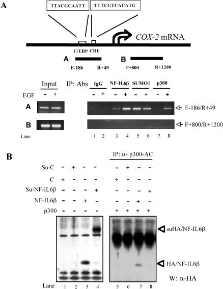 NF-IL6β binds to the cox-2 gene promoter in vivo . ( A ) ChIP analysis was performed as described in Materials and Methods. The upper panel indicates the scheme of 5′-flanking region of cox-2 gene, and the location of designed primers for PCR. Chromatin from A431 cells with or without EGF treatment was immunoprecipitated with specific antibodies as indicated and the cox-2 promoter region was amplified by PCR. ( B ) Purified p300 proteins cannot interact with suNF-IL6β. The pull-down assay was performed using the mixtures of purified p300 protein incubated with in vitro -translated HA/NF-IL6β with or without sumoylation enzymes as described in Materials and Methods. The 'C' represents the control products of in vitro transcription/translation reaction with pCDNA3/HA vector; the 'Su-C' represents the products were performed by in vitro -translated control products in in vitro -sumoylation reaction. Western blots of reaction mixture (left panel) and α-p300-immunoprecipitated pellet (right panel), using α-HA antibodies, are indicated.