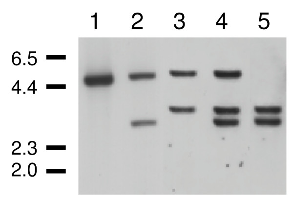 Deletion analysis of LmxMPK4 . Southern blot analysis of different clones with a probe corresponding to the 3'-UTR of LmxMPK4 . 1, L. mexicana wild type; 2, episome pXPACLmxMPK4 + Δ LmxMPK4 +/- Phleo; 3, episome pXPACLmxMPK4 + Δ LmxMPK4 +/- Hyg; 4, episome pXPACLmxMPK4 + Δ LmxMPK4 -/-/+ Phleo/Hyg; 5, episome pXPACLmxMPK4 + Δ LmxMPK4 -/- Phleo/Hyg. Numbers indicate the approximate size of DNA markers in kb.