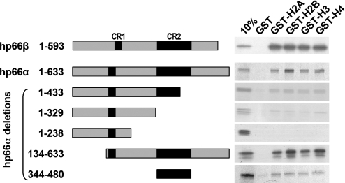 Both p66α and p66β interact with histone tails in vitro . GST and GST-histone tails were purified with glutathione–Sepharose beads and analyzed by SDS–PAGE to normalize protein amounts. Equivalent amounts of GST fusion proteins were incubated with [ 35 S]methionine-labeled in vitro translated p66-proteins, as indicated left of the figure. The bound proteins were eluted with SDS sample buffer, fractionated on SDS–PAGE and visualized by fluorography.