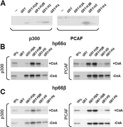 Acetylation of histone tails reduces the association with both p66-proteins in vitro . ( A ) The histone acetyltransferase domains of p300 and of PCAF were bacterially expressed and incubated with individual GST-histone tails together with radioactive acetyl-CoA. Glutathione–Sepharose purified GST-histone tails were eluted with SDS sample buffer, fractionated on SDS–PAGE and visualized by fluorography. p300 acetylated primarily H2A, H3 and H4 histone tails, whereas PCAF acetylated primarily the tails of histone H3, and also of H4. Acetylation by p300 or PCAF reduced association of p66α ( B ) or of p66β ( C ) with acetylated histone tails. Acetylated GST-histone tails as in (A), but incubated with non-radioactive acetyl-CoA (+CoA) or non-acetylated histone tails (−CoA), were incubated with [ 35 S]methionine-labeled in vitro translated p66-proteins. All samples were purified by glutathione–Sepharose, fractionated on SDS–PAGE and visualized by autoradiography.