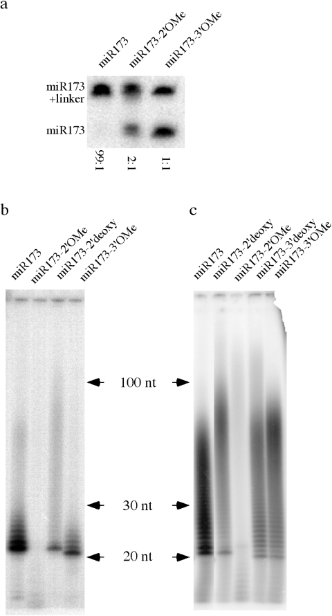 Effect of various modifications on the 3′ terminal nucleotide of a small RNA on T4 RNA ligase- and yeast PAP-catalyzed reactions. ( a ) T4 RNA ligase-mediated ligation of various miR173 forms to an RNA linker. ( b ) Activity of yeast PAP on various forms of miR173 in the presence of 2 pmol [α- 32 P]-ATP. The ladders or smears represent products of PAP-catalyzed reaction. ( c ) Activity of yeast PAP on various forms of miR173 in the presence of 10 pmol [α- 32 P]-ATP.