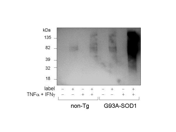 Basal and cytokine-stimulated protein carbonylation is increased in G93A-SOD1 astrocyte cultures. Cells were stimulated for 48 hours with 50 U/mL IFNγ plus 40 ng/mL TNFα, lysed in the presence or absence of biotin-LC-hydrazide (+ or - label as indicated), blotted onto a PVDF membrane and probed with streptavidin-conjugated horseradish peroxidase.