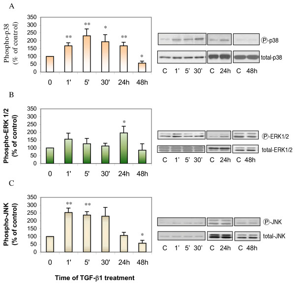 TGF-β1 increased expression of phosphorylated MAPKs in ASMCs. Confluent and growth-arrested ASMCs were incubated with 1 ng/ml of TGF-β1 for 1, 5, 30 minutes, 24 or 48 hours prior to protein extraction and Western analysis for phosphorylated or total p38 (Panel A), ERK1/2 (Panel B), and JNK (Panel C). * p
