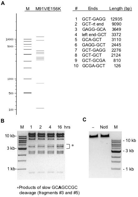 Digestion of T7 genomic DNA by variant M91V/E156K. ( A ) A virtual digest of T7 DNA using NEBcutter ( 29 ). Since site 5′-GCGTCCGC-3′ is nicked by this enzyme it was not included in the virtual digest. M is a size marker lane. ( B ) Actual results of digesting T7 DNA in 1× NEB BamHI buffer for various times at 37°C. A 30-fold molar excess of enzyme was used in each reaction. ( C ) A control showing no digestion of T7 DNA by 200 U wt NotI.