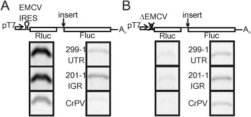 Test of translational independence of the second cistron in the dicistronic reporter construct. Phosphorimages of SDS–PAGE gels containing proteins labeled with [ 35 S]methionine during in vitro translation. Rabbit reticulocyte lysates were programmed with 20 ng/µl of dicistronic RNA transcribed in vitro by T7 polymerase as indicated. Rluc translation is controlled by either the EMCV IRES ( A ), or ΔEMCV ( B ), Fluc translation is controlled by the three indicated sequences. Results identical to these were obtained using 10 ng/µl of RNA in separate reactions.