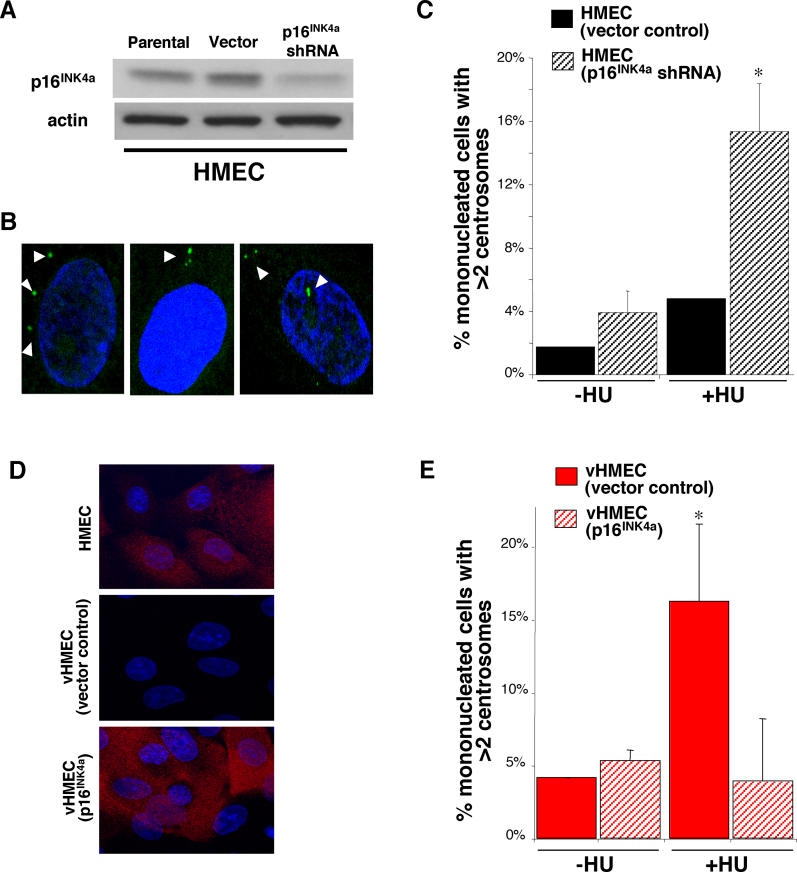 Loss of p16 INK4a Uncouples the Centrosome Duplication and DNA Replication Cycles in HMECs (A) Western blot analysis of p16 INK4a expression in HMECs parental, infected with vector-only (vector), or shRNA directed against p16 INK4a (p16 INK4a shRNA). (B, arrowhead) Examples of more than two centrosomes in HU-exposed HMECs (p16 INK4a shRNA). (C) HMECs infected with vector-only (black: RM9 [6 and 7 PD]) or p16 INK4a shRNA (gray: RM9 [7 and 8 PD]) were untreated (−HU) or exposed to HU (+HU). (D) Expression levels of p16 INK4a (red) in HMECs, vHMECs transfected with vector-only or p16 INK4a . (E) vHMECs infected with vector-only (red: RM15 [33 to 37 PD]) or p16 INK4a (gray: RM15 [33 to 37 PD]) were untreated (−HU) or exposed to HU (+HU). Centrosome number was determined by immunocytochemistry with an antibody recognizing the centrosome-associated γ-tubulin protein. Analysis included at least 100 cells. *Statistical significance ( p