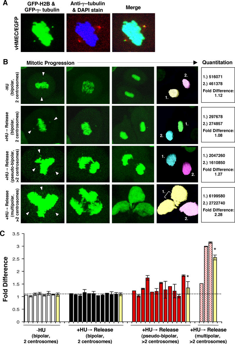 Supernumerary Centrosomes Play a Causal Role in the Production of Aneuploid Cells (A) Early-passage vHMECs (RM18, 13–33 PD) that express EGFP–γ-tubulin (green) and EGFP-H2B (green) were stained with antibody recognizing the centrosome associated γ-tubulin protein (red) and with DAPI to localize DNA (blue). The merged image demonstrates colocalization of EGFP–γ-tubulin with the centrosome and EGFP-H2B with the DNA. (B) Examples of the mitotic progression of cells that divide into two nuclei with two centrosomes (−HU and +HU → release; bipolar, two centrosomes), that divide into two nuclei with more than two centrosomes (+HU → release; bipolar, more than two centrosomes), and that divide into greater than two nuclei with more than two centrosomes (+HU → release; multipolar, with more than two centrosomes). Arrowhead points to the EGFP–γ-tubulin signal (centrosomes). The EGFP-H2B signal was selected (pastel-colored nuclei) and the total signal intensity was quantitated. Determining the fold difference (EGFP-H2B signal intensity of daughter cells 1/EGFP-H2B signal intensity of daughter cells 2) allowed us to determine whether cells had segregated their DNA equally (fold difference close to 1.00) or unequally (fold difference > 1.00). (C) Bar graph of the individual (white, black, red, and red stripe) and mean (yellow) fold differences in EGFP-H2B signals intensity between daughter cells. Standard deviations represent analysis of up to ten time frames per mitotic event. The dashed line represents the average mean fold difference (1.08) of the normal mitosis (−HU and +HU → release; bipolar, two centrosomes). *Statistical significance ( p