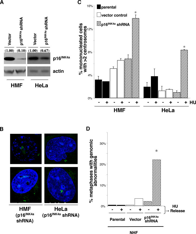 Loss of p16 INK4a Results in Centrosome Dysfunction and the Subsequent Generation of Aneuploid HMF and HeLa Cells (A) Western blot analysis of p16 INK4a expression in HMF and HeLa cells infected with vector-only (vector) or shRNA directed against p16 INK4a (p16 INK4a shRNA). (B) Examples of more than two centrosomes in HMF (p16 INK4a shRNA) and HeLa (p16 INK4a shRNA) cells. Centrosome number was determined by immunocytochemistry with an antibody recognizing the centrosome-associated γ-tubulin protein. (C) Analysis of parental HMF (RM9 [1 PD], RM21 [3 PD]) and HeLa cells (black) and HMF and HeLa cells infected with vector-only (HMF: RM9 [7 PD], RM21 [11 PD]) (white) or HMF and HeLa cells infected with p16 INK4a shRNA (HMF: RM9 [6 PD], RM21 [7 PD]) (gray) containing mononucleated cells with more than two centrosomes. Cells were untreated (−HU) or exposed to HU (+HU). Analysis included more than two HMF and HeLa cells. *Statistical significance ( p