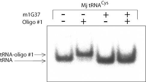 Phosphorimager analysis of hybridization of oligo #1 to transcripts of M.jannaschii tRNA Cys . The modified transcript was purified using the RNase H cleavage reaction. Migration positions of the unbound tRNA and tRNA-oligo hybrid are indicated by arrows.