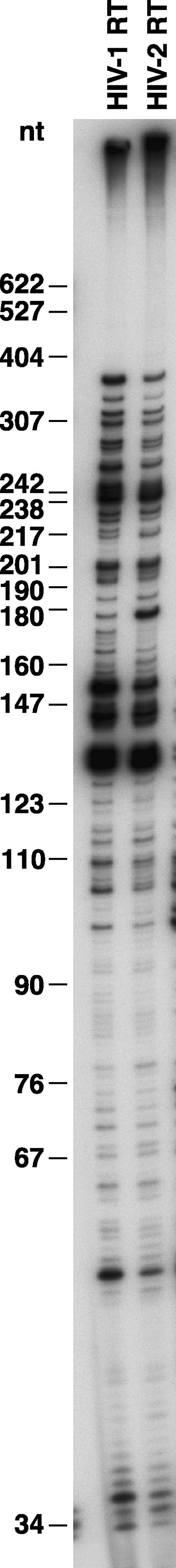 """Processivity of Wild-Type HIV-1 and HIV-2 RTs As described in Materials and Methods, a 5′ end-labeled primer was annealed to single-strand M13mp18 DNA, then extended with wild-type HIV-1 RT or HIV-2 RT in the presence of 10.0 μM of each dNTP and unlabeled poly(rC)•oligo(dG), which acts as a """"cold trap."""" The cold trap limits extension to one round of polymerization. The location of the size marker bands (in nucleotides) are shown on the left."""