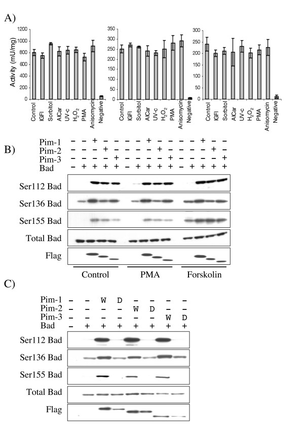 Phosphorylation of Bad by Pim kinases in HEK-293 cells . A) FLAG-Pim-1, Pim-2 or Pim-3 were expressed in HEK-293 cells by transient transfection. 24 h after transfection cells were serum starved for 18 h and then stimulated with either IGF (100 ng/ml 5 min), sorbitol (0.5 M for 30 min), AICar (2 mM for 1 hour), UV-C (200Jm2 followed by 1 hour incubation at 37°C), hydrogen peroxide (1 mM for 1 hour), PMA (400 ng/ml for 15 min), anisomycin (10 μg/ml for 1 hour) or left unstimulated. Cells were lysed and Pim kinase activity measured by immunoprecipitation assays as described in the methods. B) GST-Bad was transfected into HEK-293 cells along with either empty pCMV5 vector or FLAG-Pim-1, 2, or 3 expression constructs. 24 h after transfection cells were serum starved for 18 h and then left unstimulated or stimulated with either PMA (400 ng/ml for 15 min) or forskolin (20 μM for 30 min). Cells were then lysed and extracts immunoblotted for Bad phosphorylated on Ser112, Ser136 or Ser155, total Bad and FLAG (to monitor Pim-1, 2 or 3 expression). C) GST-Bad was transfected into HEK-293 cells with empty pCMV5 vector or active or kinase dead FLAG-Pim-1-3 expression constructs. 24 h after transfection cells were serum starved for 18 h and were then lysed and extracts immunoblotted for Bad phosphorylated on Ser112, Ser136 or Ser155, total Bad and FLAG (to monitor Pim-1, 2 or 3 expression).