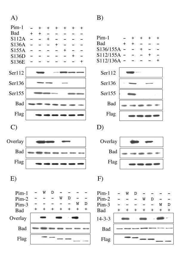 Ser136 is a critical site to allow phosphorylation of Bad by Pim in cells . A) GST-Bad, or Ser112Ala, Ser136Ala, Ser155Ala, Ser136Asp or Ser136Glu mutants of GST-Bad were transfected into HEK-293 cells along with either empty pCMV5 vector or a FLAG-Pim-1 expression constructs. 24 h after transfection cells were serum starved for 18 h and were then lysed and extracts immunoblotted with antibodies against Bad phosphorylated on Ser112, Ser136 or Ser155, total Bad or FLAG. B) GST-Bad, or Ser136/155Ala, Ser112/155Ala or Ser112/136Ala mutants of GST-Bad were transfected into HEK-293 cells with either empty pCMV5 vector or FLAG-Pim-1 expression constructs. 24 h after transfection cells were serum starved for 18 h and lysed and extracts immunoblotted with antibodies against Bad phosphorylated on Ser112, Ser136 or Ser155, total Bad or FLAG. C) GST-Bad, or Ser112Ala, Ser136Ala, Ser155Ala, Ser136Asp or Ser136Glu mutants of GST-Bad were transfected into HEK-293 cells along with either empty pCMV5 vector or a FLAG-Pim-1 expression constructs. 24 h after transfection cells were serum starved for 18 h and were then lysed and extracts immunoblotted for total Bad or FLAG (to monitor expression). Extracts were also run on SDS polyacrylamide gels, transferred to nitrocellulose and 14-3-3 overlays performed as described in the methods. D) GST-Bad, or Ser136/155Ala, Ser112/155Ala or Ser112/136Ala mutants of GST-Bad were transfected into HEK-293 cells with either empty pCMV5 vector or FLAG-Pim-1 expression constructs. 24 h after transfection cells were serum starved for 18 h and lysed and extracts immunoblotted for total Bad or FLAG (to monitor expression). Extracts were also run on SDS polyacrylamide gels, transferred to nitrocellulose and 14-3-3 overlays performed as described in the methods. E) GST-Bad was transfected into HEK-293 cells along with either empty pCMV5 vector or active (W) or kinase dead (D) FLAG-Pim-1, 2, or 3 expression constructs. 24 h after transfection cells were se