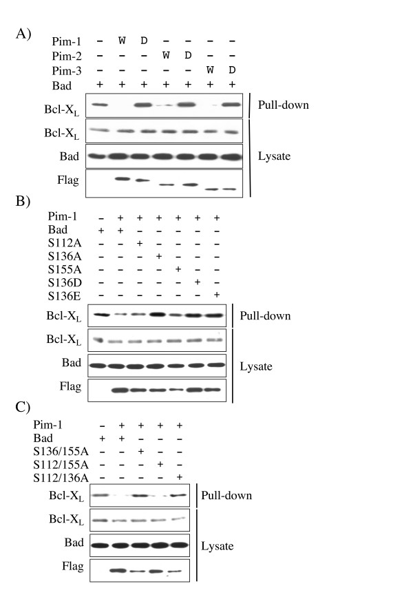 Phosphorylation of Bad by Pim prevents Bcl-X L binding . A) GST-Bad was transfected into HeLa cells along with either empty pCMV5 vector or active (W) or kinase dead (D) FLAG-Pim-1, 2, or 3 expression constructs. 24 h after transfection cells were serum starved for 18 h and were then lysed. GST pull downs were then performed on the extracts and imuunoblotted for Bcl-X L associating with the GST-Bad. Extracts were also immunoblotted with antibodies against total Bcl-X L , total Bad or FLAG. B) GST-Bad, or Ser112Ala, Ser136Ala, Ser155Ala, Ser136Asp or Ser136Glu mutants of GST-Bad were transfected into HEK-293 cells along with either empty pCMV5 vector or a FLAG-Pim-1 expression constructs. 24 h after transfection cell were serum starved for 18 h and were then lysed. GST pull downs were then performed on the extracts and immunoblotted for Bcl-X L associating with the GST-Bad. Extracts were also immunoblotted with antibodies against total Bcl-X L, , total Bad and FLAG. C) GST-Bad, or Ser136/155Ala, Ser112/155Ala or Ser112/136Ala mutants of GST-Bad were transfected into HEK-293 cells with either empty pCMV5 vector or FLAG-Pim-1 expression constructs. 24 h after transfection cells were serum starved for 18 h and lysed. GST pull downs were then performed on the extracts and immunoblotted for Bcl-X L associating with the GST-Bad. Extracts were also immunoblotted with antibodies against total Bcl-X L , total Bad or FLAG.