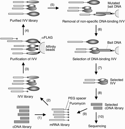 Schematic representation of the IVV selection procedure. (1) A cDNA library is transcribed and ligated with a Fluoro-PEG Puro spacer. (2) The IVV template RNA library is translated in a wheat germ cell-free translation system. (3) The constructed IVV library is purified with anti-FLAG M2 antibody-immobilized beads to remove untranslated mRNA and impurities contained in the wheat germ mixture. (4) The purified IVV are (5) subjected to affinity selection with mutated bait DNA-immobilized beads to eliminate non-specific binders to DNA. (6) Unbound IVV are then subjected to affinity selection with bait DNA-immobilized beads. (7) After washing, DNA-binding IVV are eluted by DNase I digestion. (8) The mRNA portions of the selected IVV are reverse-transcribed, PCR-amplified and (9) subjected to the next round of selection or (10) identified by cloning and sequencing.