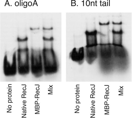 <t>RecJ</t> binds monomerically to DNA. Electrophoretic mobility shift assays with 5 nM oligonucleotide A treated with 100 nM RecJ alone, RecJf alone or with a mixture of the two ( A ). An identical experiment, except using the 10 nt 5′ tailed substrate ( B ). Two distinct shifts are noted, owing to the ∼40 <t>kDa</t> difference in molecular weight between RecJ and RecJf.