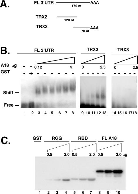 hnRNP A18 binds to TRX 3′-UTR in solution. ( A ) Schematic representation of the different probes used. FL; full-length, nt; nucleotides. ( B ) RNA band shift was performed as described in the text. Increasing amounts (0.12 to 4 µg) of GST–hnRNP A18 was incubated with the indicated labeled TRX probe and run on a 1% agarose gel. ( C ) hnRNP A18 RBD and RGG domain are required for maximal RNA binding. Northwestern analysis was performed with increasing amounts (0.5 to 2 µg) of either full-length (FL) GST–hnRNP A18 (lanes 8–10), GST–hnRNP A18 RGG domain (RGG; lanes 2–4), GST–hnRNP A18 RBD (lanes 5–7) or GST alone (lane 1) and labeled TRX 3′-UTR as described in the text.