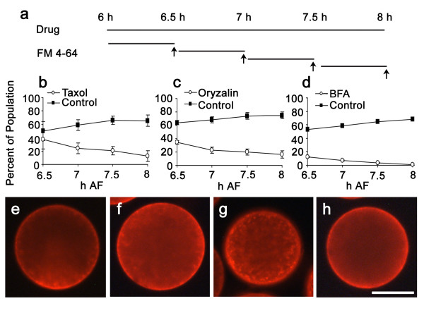 Perturbation of microtubule dynamics or membrane trafficking alters endomembrane distribution. (a) Experimental design. Zygotes on coverslips in Petri dishes were treated chronically with drug beginning at 6 h AF. At 30 min intervals thereafter a separate coverslip was labeled with FM4-64 for 30 min. Arrows at the end of the FM4-64 labeling period indicate time at which zygotes were scored for endomembrane asymmetry. (b-d) Time course of changes in endomembrane asymmetry following treatment with 5 μ M paclitaxel (b), 5 μ M oryzalin (c), or 5 μ g/ml BFA (d). Y axis indicates percent of zygotes with polar endomembrane distribution. Each experiment was repeated three times and over 100 zygotes were scored for each time point. Bars are standard errors. Images are zygotes treated with 0.05% DMSO (e), paclitaxel (f), oryzalin (g) or BFA (h). Bar = 50 μ m