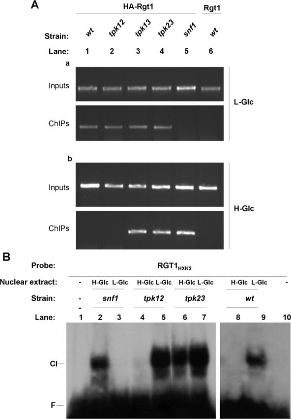 Rgt1 DNA-binding activity is regulated by Tpk3 and Snf1 in vivo and in vitro . ( A ) Association of Rgt1 with the RGT1 element of the HXK2 promoter is detected by a ChIP assay. The W303-1A wild-type strain and the tpk12 , tpk13, tpk23 and snf1 mutant strains, transformed with the HA-Rgt1 construct, were grown in high-glucose (H-Glc) medium (b) until an OD 600 of 1.0 and then transferred to medium with low-glucose (L-Glc) for 60 min (a). The W303-1A wild-type strain was also transformed with an empty pWS93 plasmid to be used as a control with untagged Rgt1 (lane 6). The cells were treated with formaldehyde to cross-link proteins bound to DNA. ChIP was performed with anti-HA antibody. Input and immunoprecipitated DNA was amplified by PCR using primer pairs spanning the RGT1 element of the HXK2 gene promoter. PCR products were resolved on a 2% agarose gel and visualized by ethidium bromide staining. ( B ) EMSA was performed with probe RGT1 HXK2 by using nuclear extracts derived from exponentially growing wild-type cells, and snf1 , tpk1-2 and tpk2-3 mutant cells as indicated above the lanes. Lanes 1 and 10 are probe alone controls. CI, marks the position of the Rgt1-dependent shifted complex. F, free DNA.