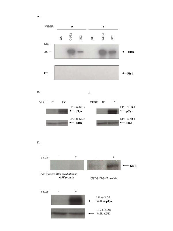 GST pull-downs and Far Western blots indicate increased Src SH3-SH2 interaction with KDR/Flk-1 upon VEGF stimulation . (A) HUVECs were either serum-starved (0') or starved and then VEGF-treated (15 ng/mL for 15 min) (15'). The indicated GST-Src domain fusion proteins (see below) bound to glutathione-agarose beads were used (500 pmol equimolar amounts each), in pull-down incubations with equal amounts of protein lysate samples (500 μg each). The pull-down complexes were resolved on a 7% acrylamide SDS-PAGE gel and transferred to nitrocellulose. Immunoblotting was then performed using α-KDR/Flk-1 (A-3) or α-Flt-1 (H-225). GU, GST-Src unique domain fusion protein; GU32, GST-Src unique SH3 SH2 domain fusion protein; G32, GST-Src SH3 SH2 domain fusion protein. (B) Cell extract (pre-pull-down) input levels of phosphotyrosine KDR/Flk-1 and KDR/Flk-1, from HUVECs either serum-starved (0') or starved and then VEGF-treated (15'). (C) Cell extract (pre-pull-down) input levels of phosphotyrosine Flt-1 and Flt-1, from HUVECs either serum-starved (0') or starved and then VEGF-treated (15'). (D) HUVECs were serum-starved (-) or VEGF-treated with VEGF (15 ng/mL for 15 min) (+). The cell extracts were then immunoprecipitated using α-KDR/Flk-1 (N-931). The immunocomplexes were resolved on a 7% acrylamide SDS-PAGE gel. <t>Biotinylated</t> GST and biotinylated GST-Src SH3-SH2 fusion protein were used in Far Western blotting. Detection was performed using horseradish peroxidase-conjugated ExtrAvidin ® , followed by enhanced chemiluminescence detection reagents. Immunoprecipitation-Western blots for levels of phosphotyrosine KDR/Flk-1 and KDR/Flk-1 of the serum-starved (-) or VEGF-treated HUVEC (+) cell extracts were also performed in parallel.