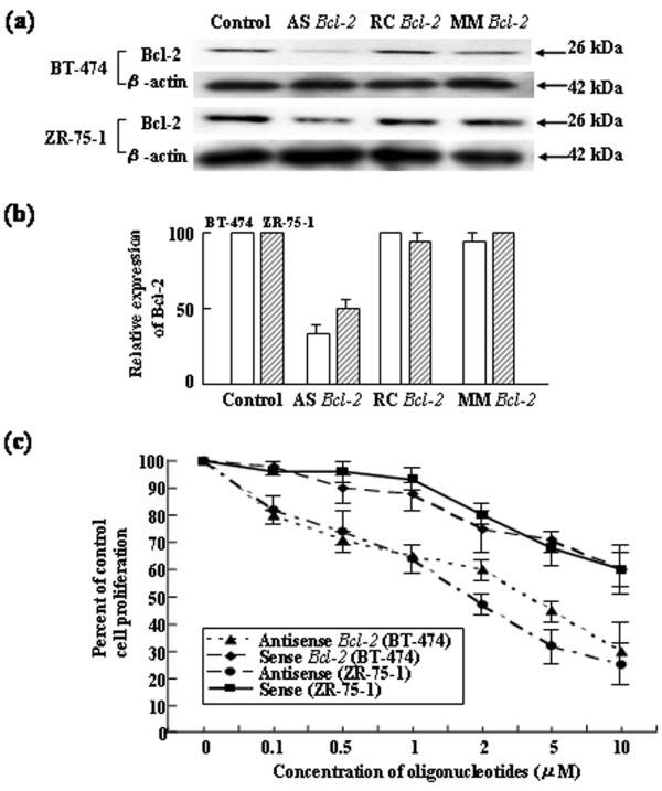 Sequence-specific downregulation and cytotoxic effects of antisense Bcl-2 oligodeoxynucleotides on BT-474 and ZR-75-1 cells. (a) Specific inhibition of Bcl-2 protein expression by treatment with antisense (AS) Bcl-2 oligodeoxynucleotides (ODNs). Cells were treated with 10 μg/ml Lipofectamine alone (control) or 1.0 μM AS, mismatch control (MM), or random control (RC) ODNs for 24 hours. Cells were then cultured in standard medium, total protein was extracted, and Bcl-2 and β-actin protein levels were analyzed by Western blotting. (b) Quantification of Bcl-2 expression by densitometric analysis. The expression of Bcl-2 in cells treated with control, AS Bcl-2 , RC Bcl-2 , and MM Bcl-2 ODNs was normalized with β-actin, and the relative values are presented. Error bars indicate SD. The data presented are from three independent experiments. (c) Effects of AS Bcl-2 ODNs on the proliferation of BT-474 and ZR-75-1 breast cancer cells in vitro . Cells were treated with various concentrations of AS Bcl-2 ODNs in 24-well dishes. Four days after treatment, cells were stained with trypan blue and counted. Error bars indicate SD. The data presented are from three independent experiments.
