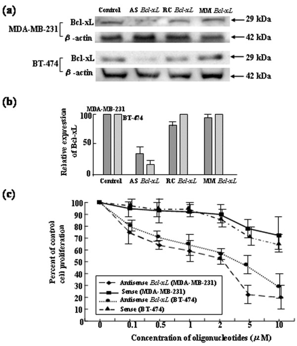 Sequence-specific downregulation and cytotoxic effects of antisense Bcl-xL oligodeoxynucleotides on MDA-MB-231 and BT-474 cells. (a) Specific inhibition of Bcl-xL protein expression by treatment with antisense (AS) Bcl-xL oligodeoxynucleotides (ODNs). Cells were treated with 10 μg/ml Lipofectamine alone (control) or 1.0 μM AS, mismatch control (MM), or random control (RC) ODNs for 24 hours. Cells were then cultured in standard medium, total protein was extracted, and Bcl-xL and β-actin protein levels were analyzed by Western blotting. (b) Quantification of Bcl-xL protein expression by densitometric analysis. The Bcl-xL protein expression was normalized with β-actin, and the relative values are presented. Error bars indicate SD. The data presented are from three independent experiments. (c) Effects of AS Bcl-xL ODNs on the proliferation of MDA-MB-231 and BT-474 breast cancer cells in vitro . Cells were treated with various concentrations of AS Bcl-xL ODNs in 24-well dishes. Four days after treatment, cells were stained with trypan blue and counted. Error bars indicate SD. The data presented are from three independent experiments.
