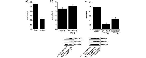 Inhibition of Rho GTPases, Rac, or Cdc42 in migration of the high metastatic MDA-MB-435α6HG6 cell variant. (a) MDA-MB-435α6HG6 cells were treated with vehicle or 2 ng/ml toxin B for 24 h and subjected to a basement membrane haptotaxis assay. Cells migrating to the underside of the membrane were stained with propidium iodide and counted under 400× Magnification. (b) MDA-MB-435α6HG6 cells transiently expressing vector alone or myc-Cdc42(T17N) were subjected to a basement membrane haptotaxis assay. Cells migrating to the underside of the membrane were stained with propidium iodide and counted under 400× Magnification. Equal loading was confirmed by a total actin blot, ectopic myc-Cdc42(T17N) expression confirmed by western blotting with anti-Cdc42 or anti-myc. (c) MDA-MB-435α6HG6 cells transiently expressing vector alone, myc-Rac1(T17N), or myc-Rac3(T17N) were subjected to a basement membrane haptotaxis assay. Bars represent ±SEM; equal loading was confirmed by total actin blot. Myc-Rac1(T17N) and myc-Rac3(T17N) expression were confirmed by western blotting with anti-Rac or anti-myc. Data are expressed as mean ±SEM of three independent experiments. A star denotes statistical significance from control ( P