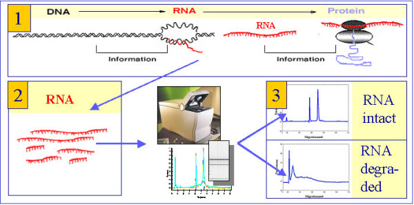 Application environment . (1) Role of RNA in gene expression and protein production, (2) extracted RNA molecules, measurement of RNA sizes applying Agilents <t>2100</t> <t>bioanalyzer</t> and (3) assignment of integrity categories to RNA samples. In the sample, RNA molecules of different sizes occur, which is measured by the 2100 bioanalyzer. The distinction with regard to integrity is based on this size distribution in each sample.