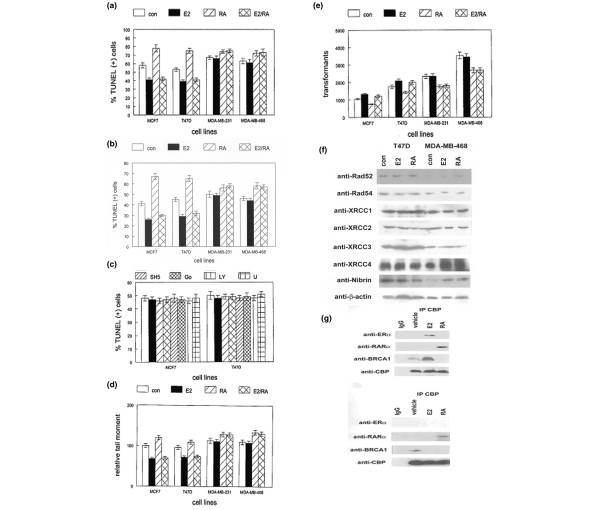 E2 inhibits and RA enhances DNA damage-mediated apoptosis in human breast cancer cell lines. (a) Estrogen receptor (ER)-positive human breast cancer cell lines (MCF7 and T47D) and ER-negative lines (MDA-MB-231 and MDA-MB-468) were treated with 17β-estradiol (E2) or all- trans retinoic acid (RA) alone or in combination (E2/RA) prior to etoposide induced DNA damage. Vehicle-treated cells were used as the negative control (con). Apoptotic cells were identified by TdT-mediated dUTP nick end labeling (TUNEL) assay. Error bars indicate SEM. (b) The human breast cancer cell lines identified above were treated with E2 or RA alone or in combination (E2/RA)before treatment with 3 Gy of ionizing radiation to induce double-strand DNA breaks. Vehicle-treated cells were used as the negative control (con). Apoptotic cells were identified by TUNEL assay. Error bars indicate SEM. (c) The pro-survival effects of E2 were not mediated by MAPK, PKC, phosphoinositide 3-kinase, phospholipase Cγ, or Akt/PKB signaling in human breast cancer cell lines. ER-positive breast cancer cell lines MCF7 and T47D were pretreated with PD98059 (PD), SP600125, (SP), SB203580 (SB), SH5, (Akt/PKB inhibitor), Go6976 (Go), LY294002 (LY), or U73122 (U) as indicated in Materials and Methods. Vehicle-treated cells were used as the negative control (con) for the TUNEL assay. (d) E2 inhibits and RA increases the extent of DNA damage in etoposide-treated human breast cancer cell lines. The indicated ER-positive and ER-negative cell lines were treated with E2 or RA alone or in combination (E2/RA), as described above, before exposure to etoposide. Vehicle-treated cells were used as the negative control (con). Relative DNA damage was quantified as described in Materials and Methods. (e) E2 enhances and RA inhibits DNA double-strand break repair in human breast cancer cell lines. The indicated cell lines were treated with E2 or RA alone or in combination (E2/RA) as described above. Vehicle-treated cells were used as t