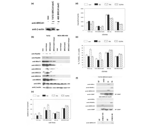 BRCA1 inhibition decreases DNA damage repair and cell survival in human breast cancer cell lines. (a) Expression of dominant-negative BRCA1 in human breast cancer cell lines. T47D and MDA-MB-468 cells were stably transfected with the BRCA1 carboxyl-terminal truncation mutant (BRCA1delC) or neomycin expression vector (neo). Protein extracts from these clones were subjected to western blotting with anti-BRCA1 antibody. Anti-β-actin antibody was used to determine relative amounts of protein in each lane. Representative blots are shown. (b) BRCA1 inhibition decreases the expression of double-strand break repair proteins in human breast cancer cell lines. T47D or MDA-MB-468 BRCA1delC or neomycin-resistant control (neo) clones were treated with etoposide (etopo) or vehicle prior to western blotting with antibodies indicated at the left. Blots were stripped and incubated with anti-β-actin antibody to determine relative amounts of protein in each lane. Representative blots are shown. (c) T47D and MDA-MB-468 BRCA1delC clones exhibit increased DNA damage when treated with etoposide. BRCA1delC or neomycin-resistant control clones (neo) were pretreated with E2RA alone or in combination (E2/RA) before exposure to etoposide. Vehicle-treated cultures were used as the negative control (con). Relative DNA damage was quantified as described in Materials and Methods. Error bars indicate SEM. (d) T47D and MDA-MB-468 BRCA1delC clones exhibit decreased DNA repair activity. BRCA1delC or neomycin-resistant control clones (neo) were pretreated with E2 or RA alone or in combination (E2/RA). Vehicle-treated cultures were used as the negative control (con). The plasmid end-joining assay was used to quantify DNA repair activity. Error bars indicate SEM. (e) Increased cell survival in etoposide-treated T47D and MDA-MB-468 BRCA1delC clones. Neomycin control clones were used as controls. Cultures were pretreated with E2 or RA alone or in combination (E2/RA). Vehicle-treated cultures were used as t