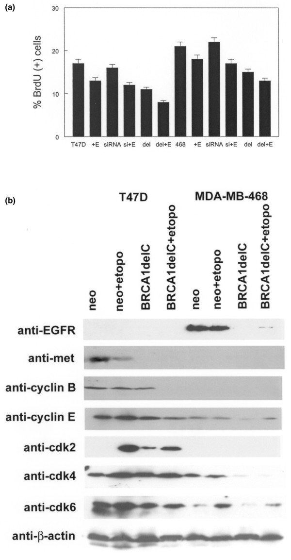 BRCA1delC, but not siRNA, inhibits cell cycle progression in human breast cancer cell lines. (a) Decreased bromodeoxyuridine (BrdU) incorporation in T47D and MDA-MB-468 BRCA1delC (del) clones. Neomycin-resistant clones were used as controls. Separate cultures were transiently transfected with BRCA1 siRNA. Clones were treated with etoposide (E) as described in Materials and Methods. These experiments were performed three times with similar results. Error bars indicate SEM. (b) T47D and MDA-MB-468 BRCA1delC and neomycin-resistant control (neo) clones were treated with etoposide (etopo) or vehicle prior to western blotting with the anti-cell-cycle-regulatory antibodies indicated at the left. Blots were stripped and incubated with anti-β-actin antibody to determine the relative amounts of protein in each lane. Representative blots are shown.