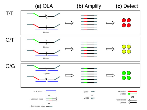 Principle of OLA-based SNP genotyping. (a) For each polymorphism, a set of three genotyping oligos are allowed to anneal to denatured PCR product (blue) in the presence of Taq DNA ligase. Ligation of up- and downstream oligos occurs only if there is a perfect match to template. Upstream oligos are color-coded gray (M13 forward amplification primer sequence), red/green (a pair of barcode sequences), and black (assay-specific sequence flanking the query SNP). The downstream oligo is 5'-phosphorylated, and color-coded gray (reverse complemented sequence of the M13 reverse amplification primer), and black (assay-specific flanking sequence). (b) Addition of common M13 primers (gray) allows amplification of all ligated products. (c) After arraying amplified OLA products, membranes are hybridized with probes complementary to the barcode sequences. Probes can be fluorescently labeled with infrared (IR) fluors and both alleles hybridized simultaneously, or radiolabeled and hybridized sequentially.