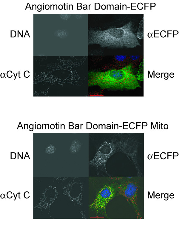 The Mito tracking peptide targets proteins to the mitochondria. <t>NIH</t> <t>3T3</t> cells were transiently transfected with vectors expressing either the N-terminus of Angiomotin fused to a C-terminal ECFP (top panel) or the same protein fused to a C-terminal ECFP plus a mitochondrial tracking peptide (ECFP-mito) (bottom panel). The cells were fixed and stained with anti-ECFP (green colour in merge) that recognizes the fusion construct or anti-Cytochrome C (red colour in merge) to mark the mitochondrial membrane. DNA is stained with Hoescht (blue colour in merge). The bottom right image on both panels is a composite of all three stainings. Note that only transfected cells will display ECFP staining. Abbreviations – mito – Mito tracker, Cyt C – Cytochrome C, ECFP – enhanced cyano fluorescent protein.