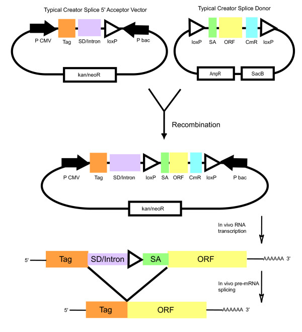 Schematic of a typical recombination reaction in the Creator Splice system. The SD/intron, shown in purple, is the only difference between a Creator Splice acceptor and a standard acceptor vector. A Creator Splice donor and acceptor are recombined in the presence of Cre <t>recombinase</t> in vitro . An intron is formed in the resulting expression vector starting from the SD/intron supplied by the acceptor and ending with the splice acceptor from the donor vector. Upon transfection and transcription in mammalian cells, the intron is removed and the tag is juxtaposed onto the ORF. Abbreviations: bac – bacteria promoter, CmR – Chloramphenicol resistance ORF, kan/neoR – kanamycin and neomycin resistance gene, P – promoter, SA – splice acceptor, SD – splice donor.