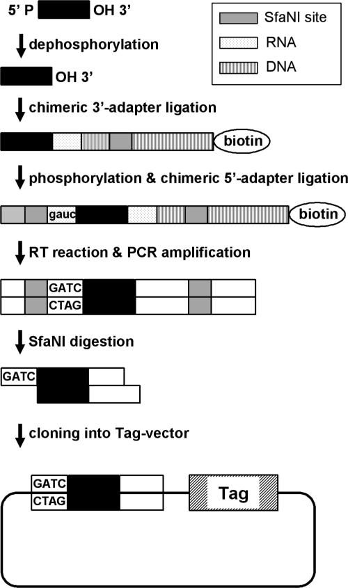 Construction of a small RNA-derived cDNA library. Small RNAs were dephosphorylated, followed by ligation with a phosphorylated RNA–DNA chimeric 3′-adaptor (3′ end of the adaptor was biotinylated to prevent self-ligation.) RNA fraction with the attached adapter was purified using PAGE gel, phosphorylated and followed by a second round of T4 RNA ligation with a DNA–RNA chimeric 5′-adaptor containing a GAUC site. The ligated product was converted to cDNA by reverse transcriptase. The cDNA was amplified by PCR with primers having a SfaNI site. PCR products were purified, digested by SfaNI and cloned into the BamHI–BbsI site of Tag vector pMBS I, which contains distinct 32mer oligonucleotide tags along with the cloning site.