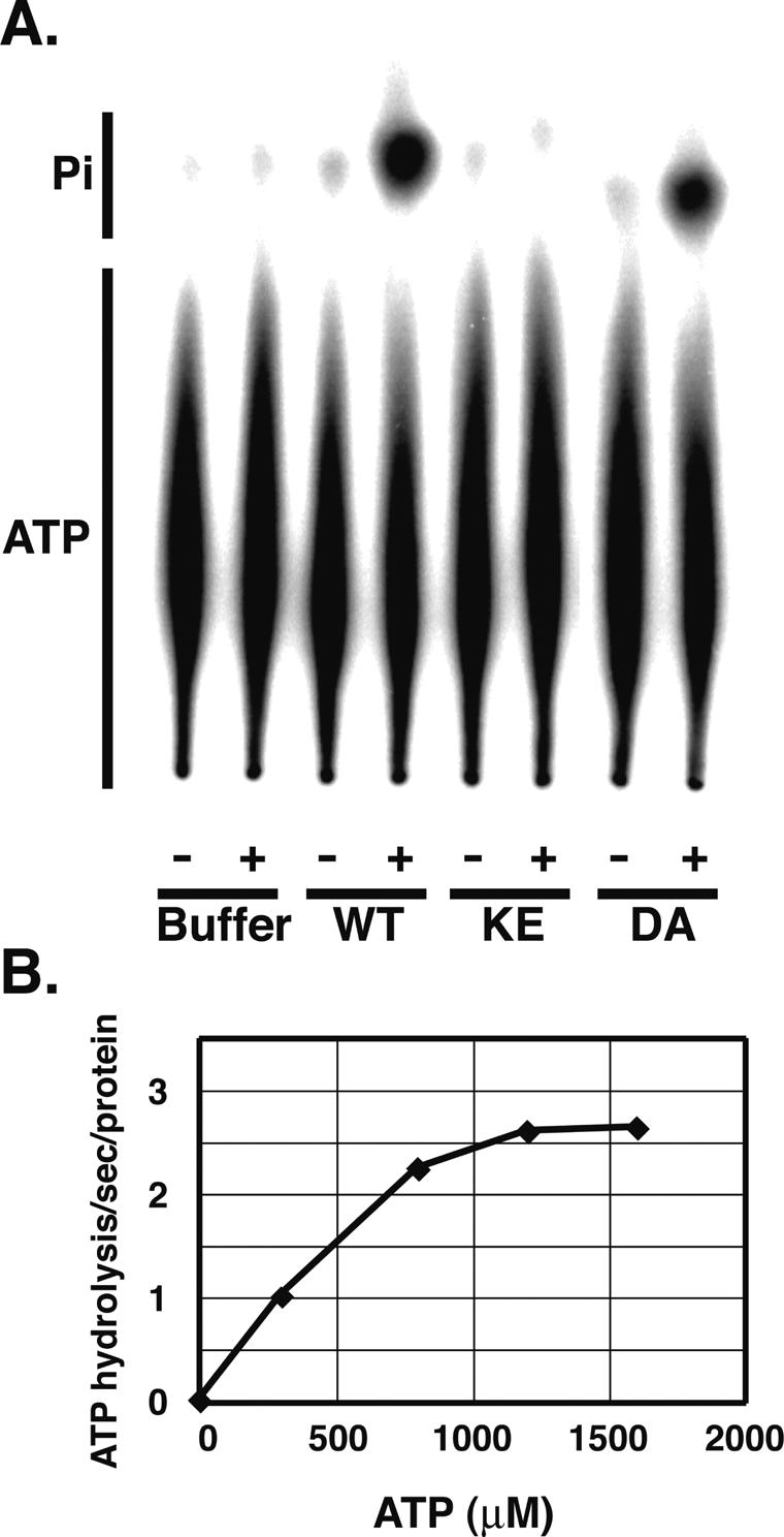 ATPase activity of recombinant hDna2 proteins. ( A ) DNA-dependent ATPase activity of human DNA2. ATPase activity of recombinant hDna2 wild type (WT), D294A (DA) or K671E (KE) were measured using reaction mixtures containing [γ- 32 P]ATP in the presence (+) and absence (−) of single-stranded DNA as described in Materials And Methods. Reactions contained 600 fmol of recombinant protein and 0.5 mM [γ- 32 P]ATP. After incubation for 20 min at 37°C, the reaction products were separated by thin layer chromatography and detected using PhosphoImager. ATP indicates the position of uncleaved ATP. Pi indicates position of released inorganic phosphate. As a control, protein was omitted from the reaction (Buffer). ( B ) Extent of ATPase. The ATPase activity of wild-type hDna2 was measured using reaction mixtures containing various concentrations of [γ- 32 P]ATP, and extents of ATP hydrolysis were plotted against ATP concentration. To normalize background, ATPase activity was measured in the absence of single-stranded DNA and subtracted.