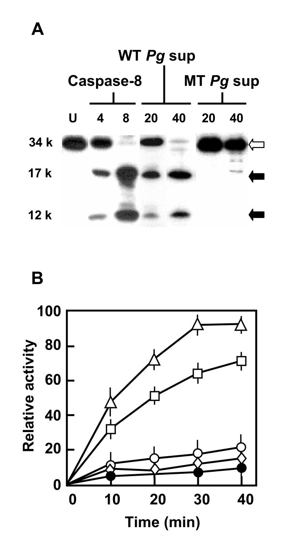 Cleavage (A) and activation (B) of procaspase-3 by P. <t>gingivalis</t> -excreted gingipains. (A) Incubation of pure procaspase-3 with caspase-8 (4 or 8 ng) or culture supernatants ('sup') of wild type (WT) or triple gingipain mutant (MT) P. gingivalis (20 or 40 ng protein content, labeled over lanes) were done as described under Experimental Procedures. The products were analyzed by SDS-PAGE and silver-staining. The full-length procaspase-3 (34 kDa) and the processed active fragments (17 and 12 kDa) are marked by open and closed arrowheads, respectively. (B) Activity of the processed caspase-3 generated in Panel A was measured using a colorimetric peptide substrate described under Experimental Procedures. The enzymes used to cleave procsapase-3 are: 20 ng of wild type P. gingivalis sup (Triangle); 4 ng caspase-8 (Squares); 20 ng of gingipain mutant P. gingivalis sup (Open circles); 20 ng of wild type P. gingivalis sup, preheated at 65°C for 15 min (Diamonds); none (Closed circles). The error bars are derived from three independent experiments.