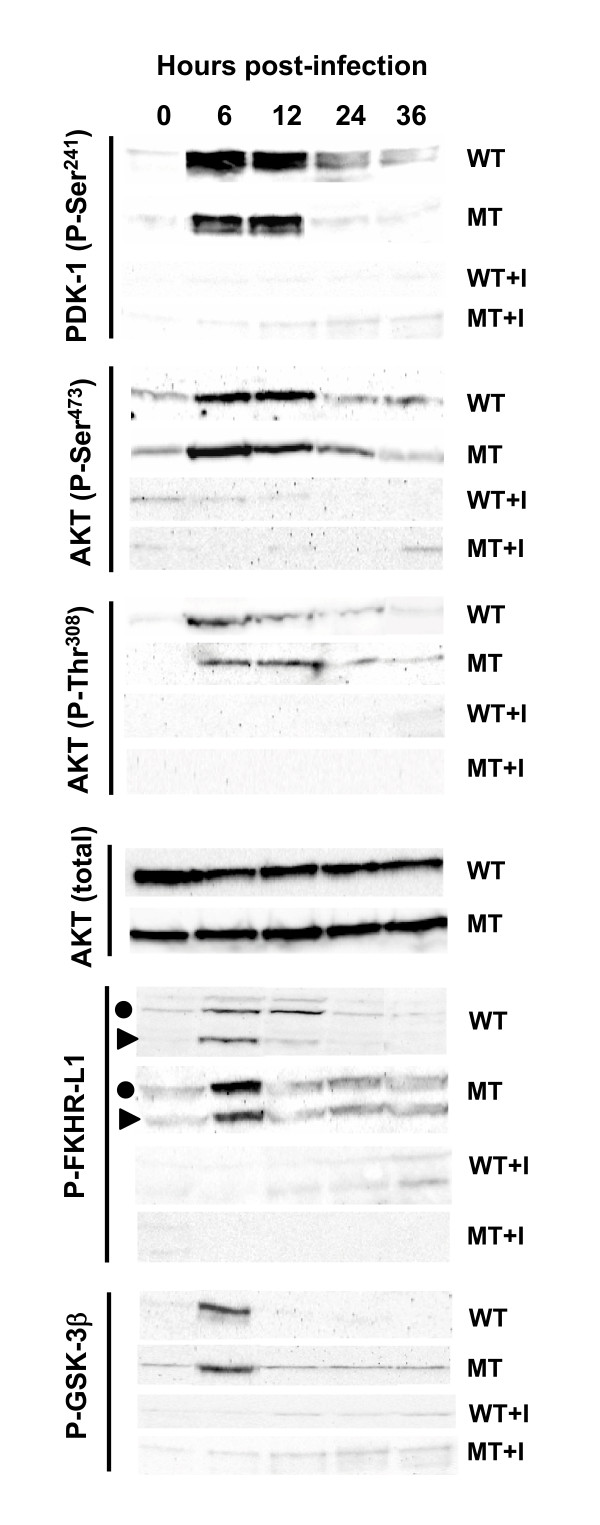 Activation of members of the PI3K/AKT pathway. HGF monolayer was infected with wild type P. gingivalis (WT) or its triple gingipain mutant (MT), and the infected cells grown in the presence (+I) or absence of 20 μM LY294002 (PI3K inhibitor). Total cell extracts (50 μg) were probed in immunoblot for the presence of total AKT or specific phosphorylated proteins of the AKT pathway as named. The two species of phospho-FKHR are indicated by closed circle and triangle. Note the early (6–12 h) activation of phosphorylation and its inhibition by the inhibitor.