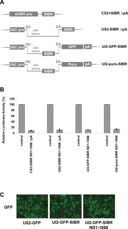 Expression of the SIBR cassette from an intron. ( A ) Schematic diagrams of SIBR vectors: US2-SIBR ΔpA vector contains the SIBR cassette in the second exon of human <t>ubC</t> gene, under control of the human ubC promoter, but without a polyA signal. There is no coding region present in either the CS2+SIBR ΔpA or US2-SIBR ΔpA vector. UI2 vectors also use the human ubC promoter but contain the SIBR cassette in the first intron of the ubC gene, with the <t>GFP</t> or puromycin-resistance proteins expressed from the second exon. SD and SA indicate splice donor and splice acceptor, respectively. Exon and intron sizes not to scale. ( B ) Different SIBR vector designs expressing the ND1-1888 miRNA against NeuroD1 were cotransfected with the NeuroD1 3′-UTR luciferase reporter (see Figure 2 ). All four designs with ND1-1888 showed similar levels of inhibition of the reporter. Control SIBR vectors used the same designs but expressed an unrelated miRNA directed against the mouse POSH mRNA. Standard errors are indicated. ( C ) Comparable GFP fluorescence was detected 24 h after transfection with GFP expressed from ubC-based expression vectors, whether or not a functional SIBR cassette was present in the ubC intron.