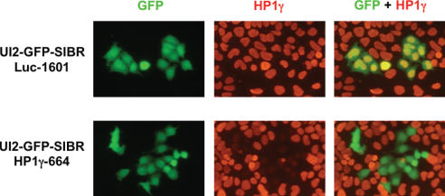 Reduction of endogenous HP1γ protein in single cells identified by coexpressed GFP. P19 cells transfected with the UI2-GFP-SIBR HP1γ-664 vector express GFP (green) and show reduced HP1γ by indirect immunfluorescence (red) when compared with untransfected cells (no GFP). The HP1γ signal in cells transfected with the UI2-GFP-luc1601 control vector remains unchanged.