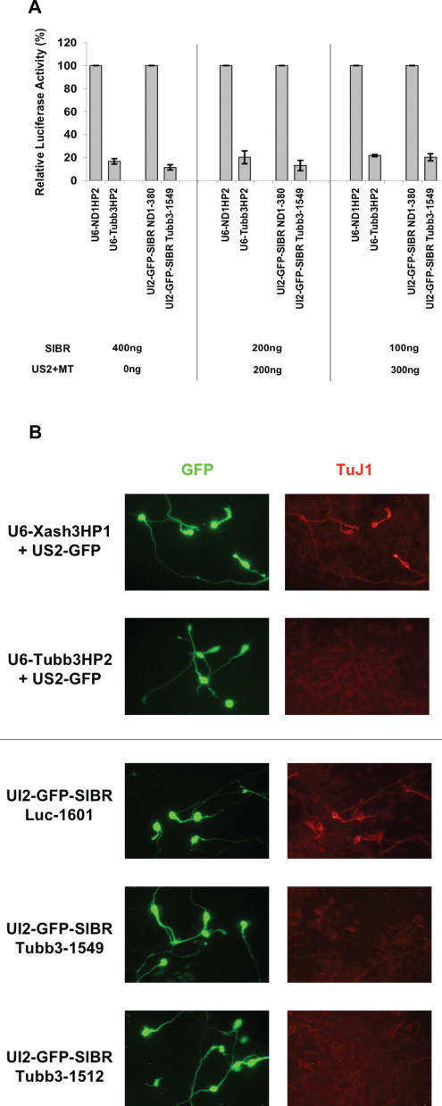 Comparable inhibition by SIBR vectors and a U6 shRNA vector. ( A ) A reporter assay comparing inhibition of a luciferase reporter containing 3′-UTR of mouse tubulin β3 (luc-Tubb3-UTR) cotransfected with either the UI2-GFP-SIBR Tubb3-1549 vector or the U6-Tubb3HP2 vector. At three different plasmid concentrations, both vectors showed comparable levels of inhibition. Standard errors are indicated. ( B ) Reduction of endogenous mouse tubulin β3 protein at a single cell level demonstrated by immunocytochemistry. U6 or UI2-GFP-SIBR vectors were cotransfected into P19 cells together with the US2-Ngn2 vector to induce neuronal differentiation and β3 tubulin expression. U6 transfections included the US2-GFP vector to label transfected cells. P19 cells transfected with a U6 shRNA vector or either of two UI2-GFP-SIBR vectors (green) directed against β3 tubulin showed substantially reduced tubulin β3 protein (red) by indirect immunfluorescence, relative to cells transfected with control vectors.