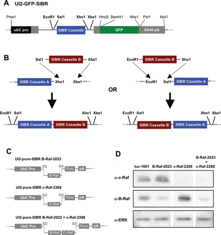 Knock-down of two endogenous genes using a single UI2 SIBR vector. ( A ) Schematic of the UI2-GFP/puro-SIBR vectors showing unique restriction sites flanking the SIBR cassette. Indicated in bold are restriction enzyme sites used for multiplexing SIBR cassettes. ( B ) Using appropriate restriction enzymes, it is possible to create vectors with tandem SIBR cassettes rapidly. ( C ) Schematic of vectors with miRNAs directed against the B-Raf and/or c-Raf kinases, including a vector with tandem B-Raf and c-Raf SIBR cassettes. Schematics in A-C are not to scale. ( D ) Western blot showing reduced levels of either B-Raf or c-Raf protein in cells transfected with SIBR vectors expressing a miRNA against the corresponding mRNA, but not in cells transfected with a control vector expressing a miRNA directed against luciferase. The vector expressing two miRNAs targeting the B-Raf and c-Raf mRNAs reduced the levels of both Raf proteins, but not the ERK kinase.