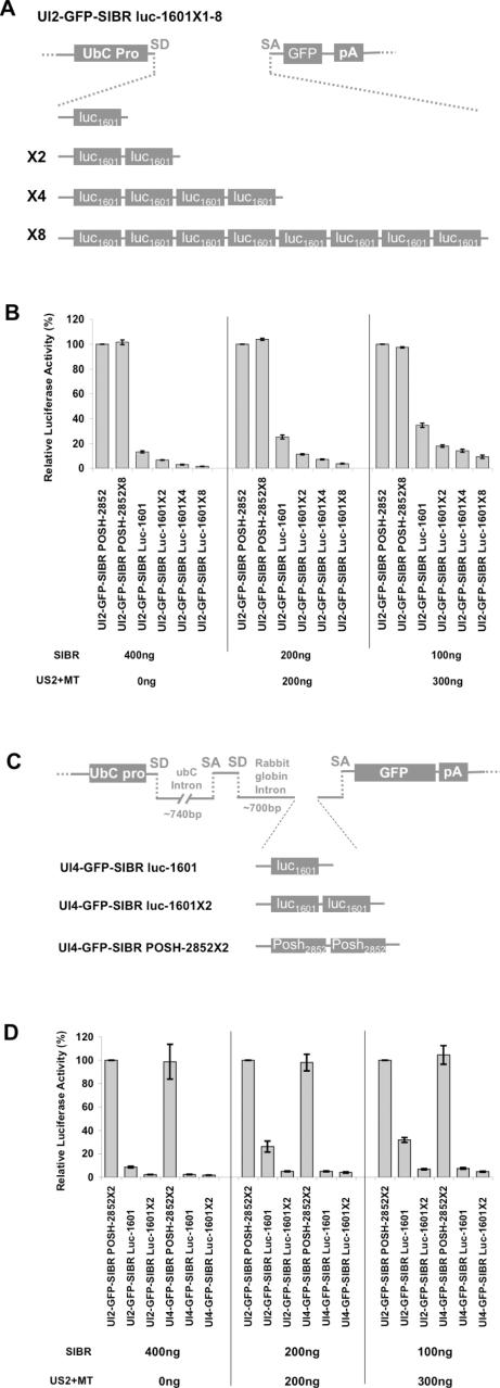 Increased inhibition by multiple SIBR cassettes expressed from a single intron vector, and by use of a two intron vector. ( A ) Schematic representation of UI2-GFP-SIBR vectors expressing one to eight tandem copies of the same synthetic miRNA against luciferase. ( B ) P19 Cells transfected with a fixed amount of target luciferase reporter and a fixed total amount of DNA show dose dependent inhibition of luciferase. At three different DNA concentrations, an increased number of copies of the luc-1601 SIBR cassette in the UI2-GFP vector provided better inhibition. The UI2-GFP-SIBR POSH-2852 control vector expresses a functional synthetic miRNA directed against the mouse POSH gene. A vector with eight copies of the POSH miRNA does not inhibit luciferase. Total DNA amount was kept constant by replacing the SIBR vector with the US2-MT vector, which does not express a miRNA. Standard errors are indicated. ( C ) Schematics of the two intron UI4-GFP-SIBR vectors. UI4-GFP vectors contain the SIBR cassettes in rabbit globin intron, inserted between the exon 2 and GFP in exon 3. Exons 1 and 2 are noncoding. SD and SA indicate splice donor and splice acceptor, respectively. Approximate intron size is indicated. ( D ) Cotransfection reporter assay comparing the inhibition by UI4-GFP-SIBR vectors to UI2-GFP-SIBR vectors expressing one or two miRNAs against luciferase. At three different plasmid concentrations, the UI4-GFP-SIBR vectors showed increased inhibition of luciferase relative to the UI2-GFP-SIBR vectors. Standard errors are indicated.