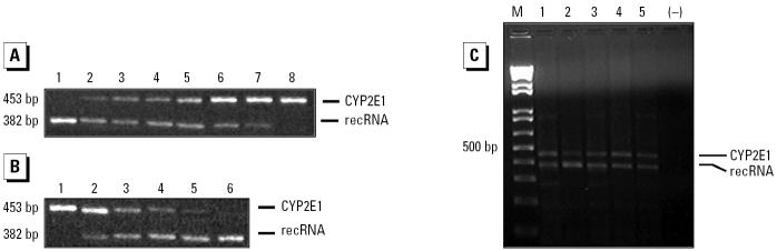 Reliability of the competitive RT-PCR assay for CYP2E1 transcript. ( A ) A fixed amount of human lymphocyte total RNA (5 μg) was incubated with decreasing amounts of recRNA (lane 1, 1 ng; lane 2, 100 pg; lane 3, 10 pg; lane 4, 1 pg; lane 5, 100 fg; lane 6, 10 fg; lane 7, 1 fg; lane 8, without recRNA. The expected PCR products of 453 and 382 bp correspond to endogenous CYP2E1 mRNA and recRNA, respectively. ( B ) A fixed amount of recRNA (1 pg) was incubated with decreasing amounts of human lymphocyte total RNA. Lane 1, 10 μg; lane 2, 7.5 μg; lane 3, 5 μg; lane 4, 2.5 μg; lane 5, 1 μg; lane 6, without RNA. ( C ) Representative gel of the competitive RT-PCR assay showing the CYP2E1 mRNA expression of different subjects (5 μg of total RNA and 10 pg of recRNA; lanes 1–5). Abbreviations: –, control with RNA sample omitted; M, DNA ladder.