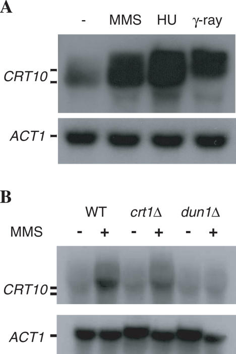 ( A ) CRT10 expression in response to DNA damage and HU treatment. Log-phase wild-type HK578-10A cells were either untreated (lane 1) or treated with 0.3% MMS for 2 h (lane 2), 0.2 M HU for 2 h (lane 3) or exposed to 40 krad of γ radiation (lane 4). ( B ) CRT10 induction is DUN1 -dependent. Log-phase wild-type BY4741 and its derivatives WXY1153 ( crt1 Δ) and WXY1155 ( dun1 Δ) were either untreated (−) or treated with 0.1% MMS for 2 h (+). Northern hybridization was performed as described in Materials and Methods. The membranes were hybridized with CRT10 (upper panel), stripped and then hybridized with ACT1 (lower panel) as an internal control. Each lane contains 15 μg of total RNA.