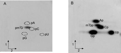 Affinity-purified ytmQ gene product (BsTrmB) catalyzes the formation of m 7 G in T7 transcripts of B.subtilis tRNA Phe . ( A ) B.subtilis tRNA Phe (5 µg) was incubated with 5 µg of purified BsTrmB protein and 15 µM of [methyl- 14 C]AdoMet (58 mCi/mmol) in TM buffer (50 mM Tris–HCl and 10 mM MgCl 2 , pH8) in a total volume of 200 µl. After 30 min incubation at 37°C the tRNA was recovered and digested with nuclease P1. The resulting nucleotides were analyzed by 2D-TLC and autoradiography as described ( 42 ). First dimension developed with isobutyric acid/conc. NH 4 OH/water (66:1:33; v/v/v); second dimension developed with conc. HCl/isopropanol/water (17.6:68:14.4; v/v/v). ( B ) [α- 32 <t>P]UTP-labeled</t> in vitro transcribed B.subtilis tRNA Phe (5 × 10 5 c.p.m.) was incubated with 5 µg of purified BsTrmB and 30 µM AdoMet in TM buffer in a total volume of 300 µl. After 30 min incubation at 37°C, the tRNA was recovered, hydrolyzed by RNAse T2 and the resulting nucleotides were analyzed as above.